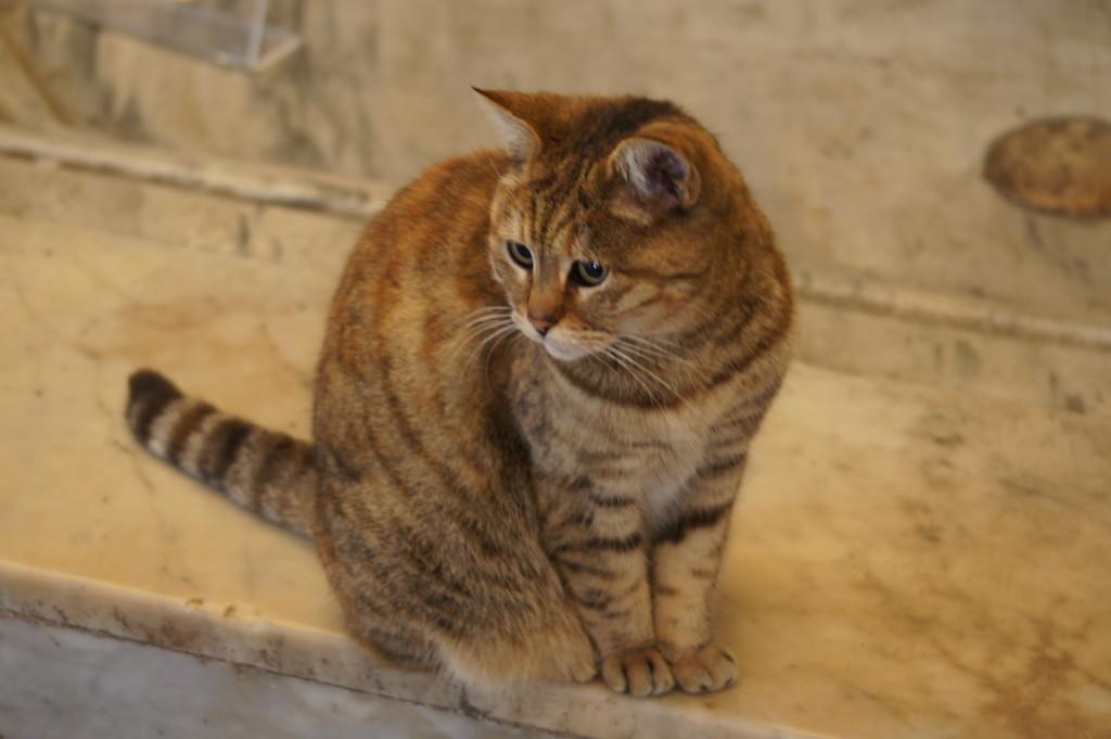 le Chat de la Basilique Sainte Sophie du nom du Gli
