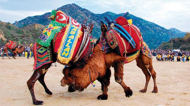 Le Combat de chameaux en Turquie
