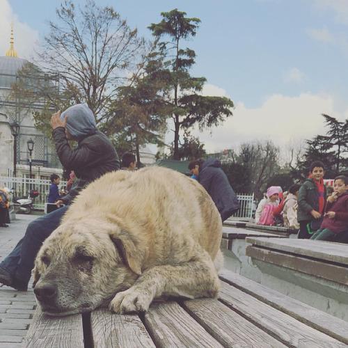 les chiens de rue à Istanbul